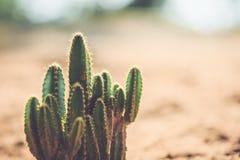 Kaktus i trädgården med tappningstilbilden Arkivbilder