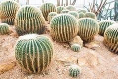 Kaktus i växthus Royaltyfria Foton