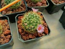 Kaktus i vår Fotografering för Bildbyråer