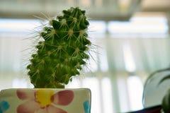Kaktus i vase Royaltyfri Bild