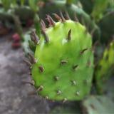 kaktus Ig?y zamykaj? w g?r? Zielony Kolor zdjęcie stock