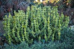 Kaktus im Balboa-Park lizenzfreie stockbilder