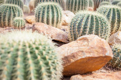Kaktus im Garten Lizenzfreies Stockbild
