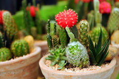 Kaktus im Gartentellersegment Lizenzfreies Stockbild