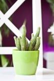 Kaktus im grünen Topf Lizenzfreie Stockbilder