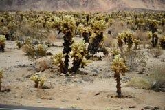 Kaktus im Joshua-Baum-Nationalpark Stockbilder