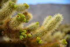 Kaktus im Joshua-Baum-Nationalpark Lizenzfreie Stockbilder