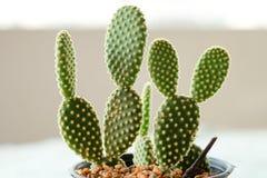 Kaktus im Plastiktopf Stockbilder