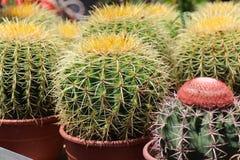Kaktus im Potenziometer Stockfotografie
