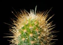 Kaktus im Tau Lizenzfreie Stockfotos
