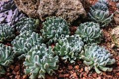 Kaktus im thailändischen tropischen Garten Lizenzfreie Stockfotos