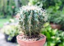 Kaktus im Topf, in den Succulents oder im Kaktus Lizenzfreie Stockfotografie