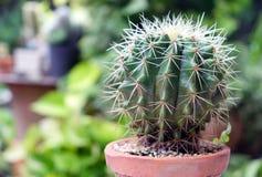 Kaktus im Topf, in den Succulents oder im Kaktus Lizenzfreie Stockbilder