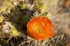 Kaktus im Wildness in Amerika Lizenzfreie Stockfotografie