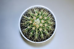 kaktus isolerad kruka Arkivbild