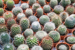 kaktus isolerad kruka Arkivfoto