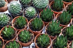 kaktus isolerad kruka Royaltyfri Foto