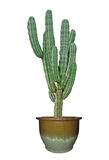 kaktus isolerad white arkivfoto
