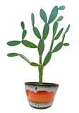 kaktus isolerad white Arkivfoton