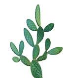 kaktus isolerad white Royaltyfri Bild