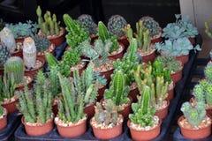 Kaktus jest Mescal Małymi drzewami Zdjęcie Stock