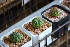Kaktus jest Mescal Małymi drzewami zdjęcia stock