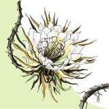 Kaktus-Königin der Nacht Stockfoto