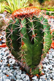 Kaktus, kaktusowa roślina/ Obrazy Royalty Free