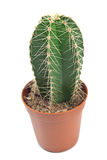 Kaktus kaktusowa roślina w garnku Fotografia Royalty Free