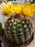 kaktus zdjęcie stock