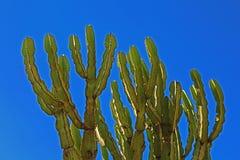 Kaktus in Kenia Lizenzfreie Stockbilder
