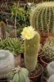 Kaktus, kolor żółty kwiat Zdjęcie Royalty Free