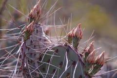 kaktus kolorowy Obraz Stock