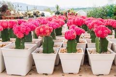 kaktus kolorowy Zdjęcie Royalty Free