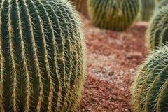 Kaktus który błyszczał Obraz Royalty Free