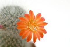 kaktus kwiat Fotografia Royalty Free