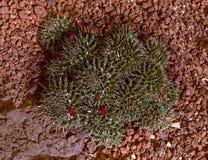 kaktus kwitnie czerwień zdjęcie royalty free
