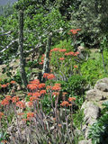 kaktus kwitnie czerwień Zdjęcie Stock