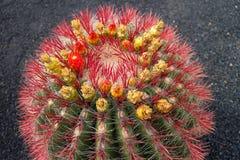 Kaktus in Lanzarote-Insel, Canaries, Spanien Lizenzfreie Stockfotografie