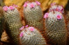 kaktus śliczny Obraz Royalty Free