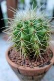 kaktus śliczny Zdjęcie Stock