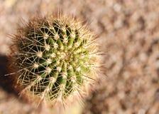kaktus little som är rund Royaltyfri Bild
