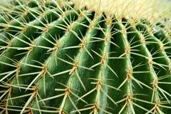 kaktus lufowego blisko złoty, Zdjęcia Royalty Free