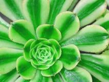 Kaktus-Makro mit klarer Beschaffenheit und Farbe Stockfoto