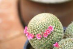 Kaktus - mamillaria Stockfotografie