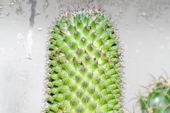 Kaktus Mamillaria, närbildsikt Royaltyfria Foton