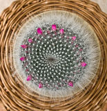 Kaktus - mammilaria hahniana Stockbilder
