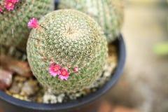 Kaktus-Mammillaria Stockfoto