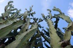 Kaktus med blåttskybakgrund Arkivfoton