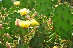 Kaktus med blommor Fotografering för Bildbyråer
